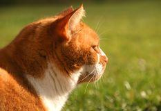Imbirowy domowy kot Obrazy Stock