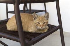 Imbirowy figlarki obsiadanie na krześle Fotografia Royalty Free