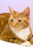 Imbirowy kot Obraz Stock