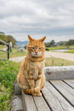 Imbirowy kot Fotografia Royalty Free