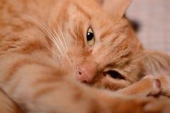 Imbirowy kot zdjęcie stock