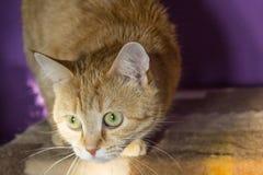 Imbirowy kot zdjęcia royalty free