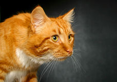 Imbirowy kot gapi się dobro Obraz Stock
