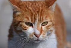 Imbirowy kot fotografia stock