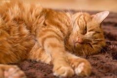 Imbirowy kot na drewnianej podłoga Fotografia Royalty Free