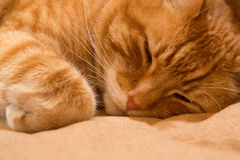 Imbirowy kot na dywaniku Obraz Stock
