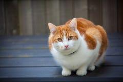 Imbirowy kot na Składowym pudełku obraz royalty free