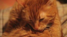 Imbirowy kot ono Myje zbiory