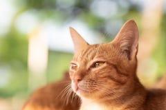 Imbirowy kot patrzeje dla coś Zdjęcia Stock