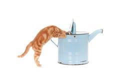 Imbirowy kot patrzeje inside podlewanie puszkę fotografia royalty free