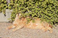 Imbirowy kot pod portulacaria afra rośliną zdjęcie royalty free