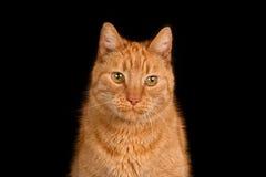 Imbirowy kot przeciw czarnemu tłu fotografia royalty free