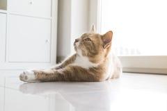 Imbirowy kot relaksuje w domu Zdjęcia Stock