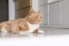 Imbirowy kot relaksuje w domu Obrazy Royalty Free