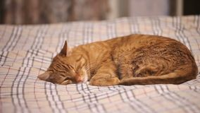 Imbirowy kot Spada Uśpiony zdjęcie wideo
