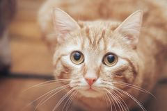 Imbirowy kot w domu fotografia royalty free