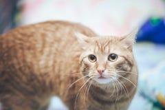Imbirowy kot w domu zdjęcie stock