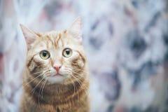 Imbirowy kot w domu fotografia stock