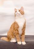 Imbirowy kot z białym krawatem Obraz Stock