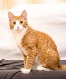 Imbirowy kot z białym krawatem Zdjęcie Stock