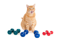 Imbirowy kot z kilka barwionymi dumbbells zdjęcia stock