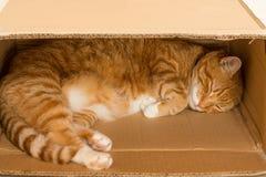 Imbirowy kota dosypianie w pudełku zdjęcia royalty free
