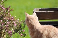 Imbirowy kota playin w ogródzie Obraz Royalty Free
