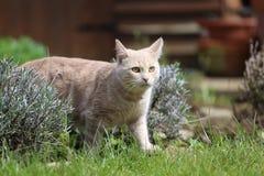 Imbirowy kota playin w ogródzie Obrazy Stock
