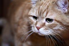 Imbirowy kota portret zdjęcia stock
