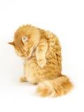 Imbirowy kota przygotowywać fotografia royalty free