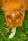 imbirowy królik doświadczalny Obrazy Royalty Free