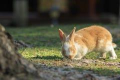 Imbirowy królik Na trawie Obrazy Royalty Free
