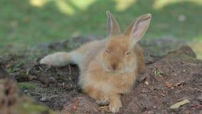 Imbirowy królik Patrzeje Poważnym zdjęcie wideo
