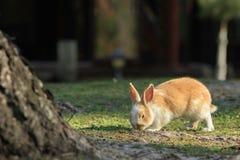 Imbirowy królik W świetle słonecznym Obraz Royalty Free