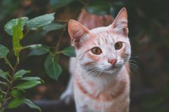 Imbirowy piękny kota portret Fotografia Royalty Free