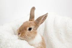 Imbirowy puszysty królik Zdjęcia Royalty Free