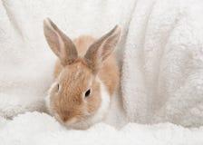 Imbirowy puszysty królik Fotografia Stock