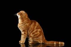 Imbirowy Szkocki fałdu kot Siedzi i Przyglądający up odizolowywający na czerni obrazy royalty free