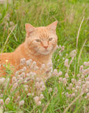 Imbirowy tabby kot w wysokiej trawie obrazy stock