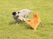 Imbirowy tabby kota cyzelatorstwo po tym jak arogancki łaciasty psi bieg obok, obrazy royalty free