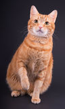 Imbirowy tabby kota obsiadanie przeciw zmrokowi - szary tło zdjęcia royalty free
