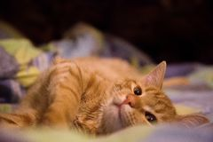 Imbirowy W?osiany kot na ? zdjęcie stock