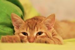 Imbirowy W?osiany kot na ? zdjęcia royalty free
