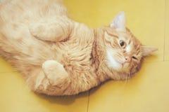 Imbirowy W?osiany kot Pyta Je?? zdjęcie royalty free