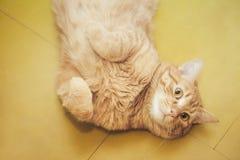 Imbirowy W?osiany kot Pyta Je?? zdjęcie stock