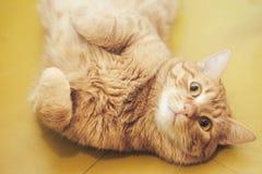 Imbirowy W?osiany kot Pyta Je?? obrazy royalty free