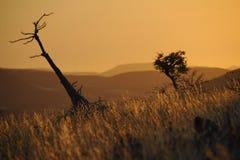 Imbottigli l'albero (lealii di pachypodium) in sera. Immagine Stock