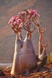 Imbottigli l'albero, Socotra immagine stock