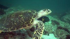 Imbricata d'Eretmochelys de tortue de Hawksbill dans le golfe d'Oman du Foudjairah EAU banque de vidéos