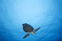 Imbricata del MAR TURTLE/eretmochelys de HAWKBILL Fotografía de archivo libre de regalías